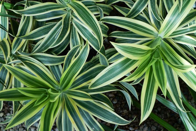 Dracaena, clean air plant, indoor plant, indoor gardening, indoors, green, gardening, spider plant