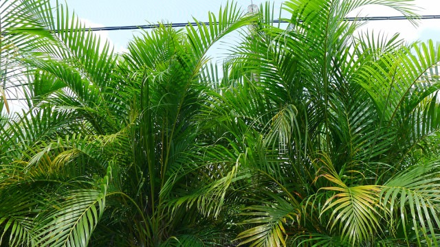 Dypsis lutescens 'Areca Palm', clean air plant, indoor plant, indoor gardening, indoors, green, gardening, spider plant