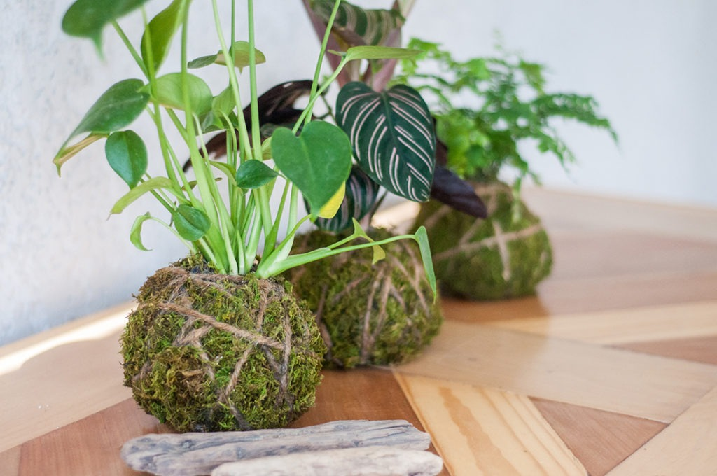 kokedama, how to, diy, plant lovers, gardening, houseplants, indoor plants, gardening, gardener, planting, art, plant food, care, kokedama care, how to care for your kokedama, liquid plant food, feeding, neptunes harvest