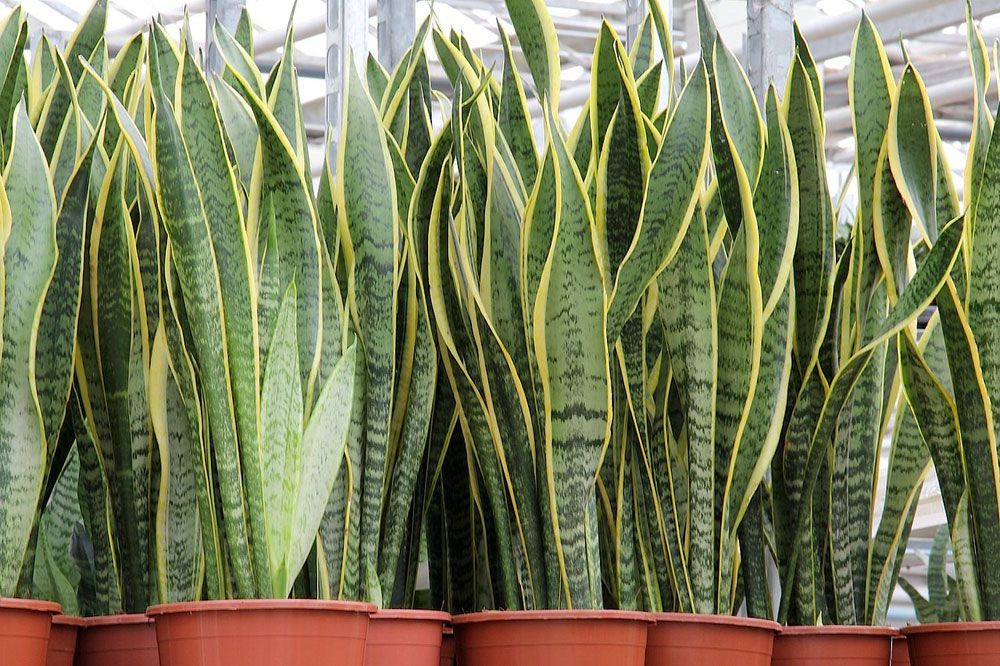 Sansevieria, snake plant, Indoor Plant, Clean Air Plants, health, indoor gardening, planting plants, healthy