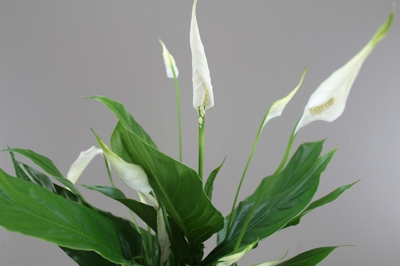 Spathiphyllum 'Peace Lily', lily, peace, indoor plant, plant, indoor gardening, clean air plants, benefits, beauty
