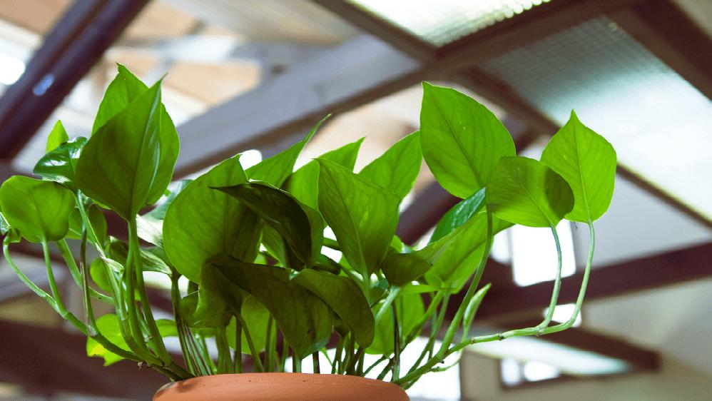 Epipremnum pothos, clean air plant, indoor plant, indoor gardening, indoors, green, gardening, spider plant