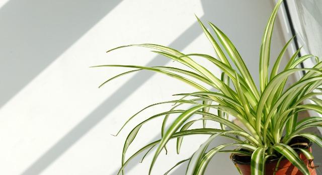 Chlorophytum 'Green Spider Plant', clean air plant, indoor plant, indoor gardening, indoors, green, gardening, spider plant