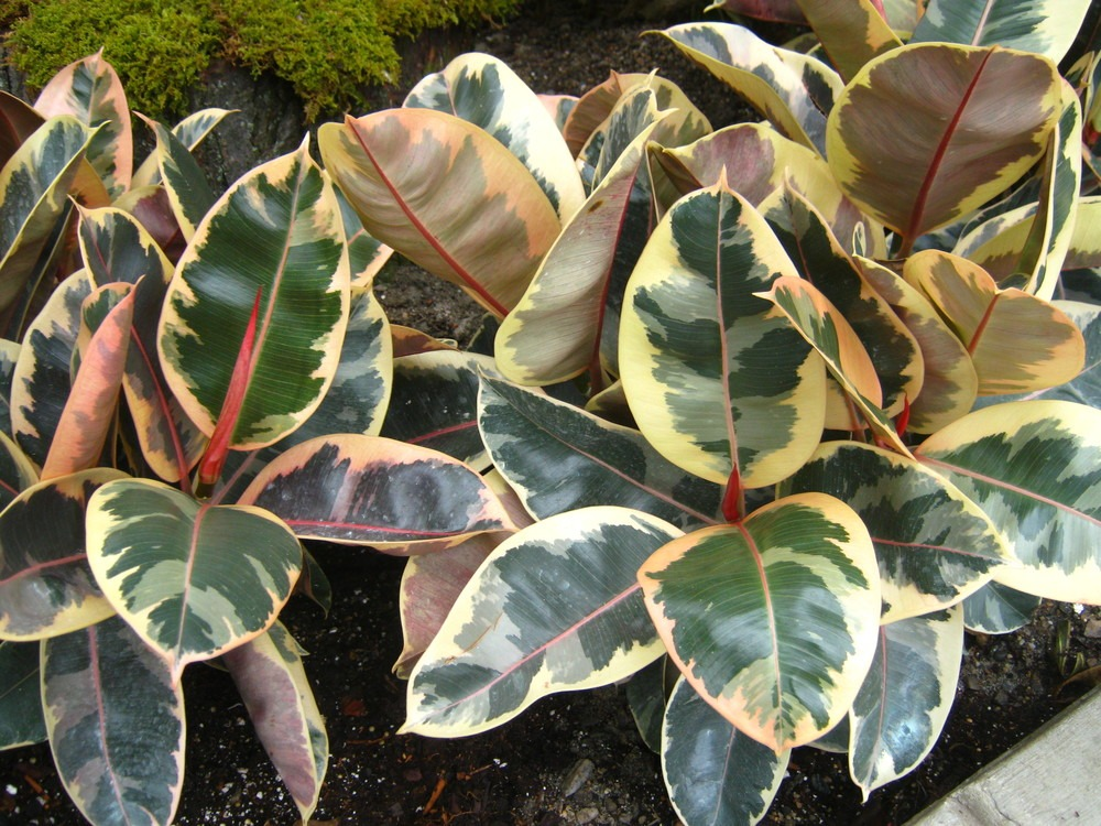 Ficus elastic 'Rubber Tree', clean air plant, indoor plant, indoor gardening, indoors, green, gardening, spider plant